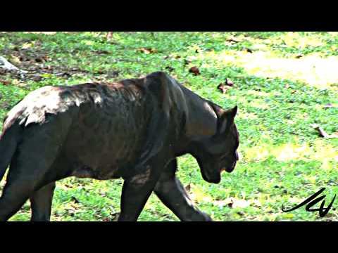 Black Panther - Panthera onca at Xcaret Riviera Maya Mexico - YouTube