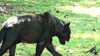 Black Panther - Panthera onca  at  Xcaret Riviera Maya Mexico - YouTube