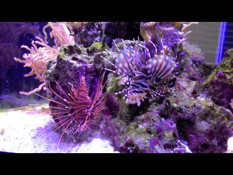 New Antennata Lionfish