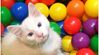Play and Learn Colours with REAL Kitty Cat WASSABI and Colorful Balls For Children
