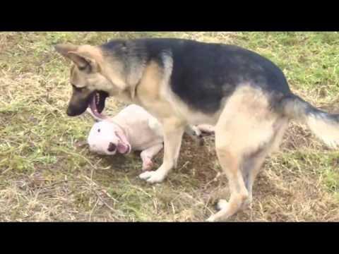 BUll Terrier Ingles Vs Pastor Aleman