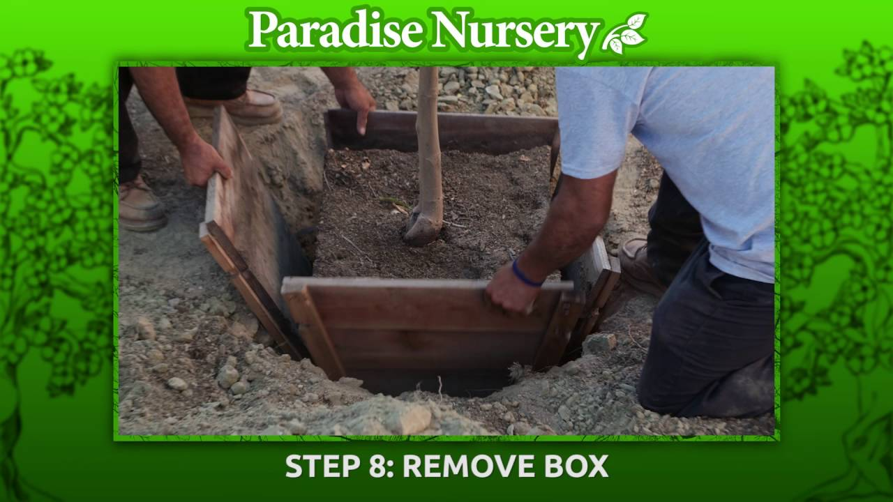 How To Plant A 24 Box Fruit Tree Youtube