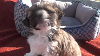 Cute Akc Shih-tzu Puppy For Adoption--must See!!!--bentley-7.5 Weeks Old.