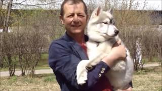 Сибирские Хаски Спирит  и  Нео