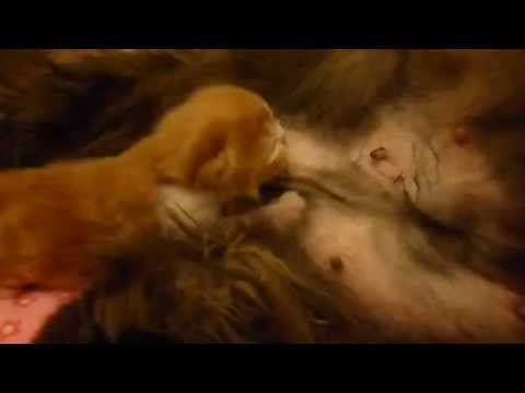 INCREDIBLE 5 Day Old Persian Newborn Already Kneading Dough - April 9, 2015