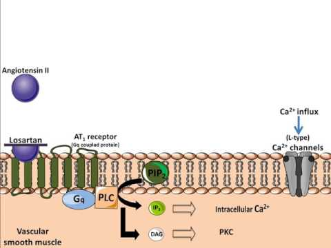 Mechanism of Action of Angiotension 2 Receptor Antagonists