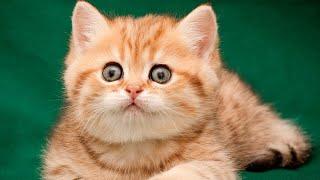 KITTEN  Best British Cat Breeds