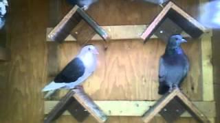 Diy pigeon loft
