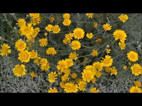 Пупавка красильная - Антемис. Фото цветения пупавки