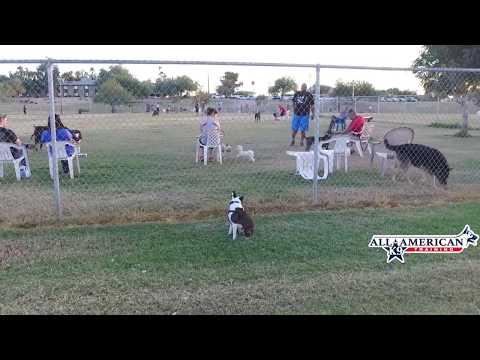 Dog Aggressive Boston Terriers