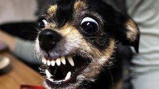 Злой той терьер. Той терьер нападает на ребёнка. Собака играет с ребёнком 😱. ИГРЫ ТОЙ ТЕРЬЕРА.