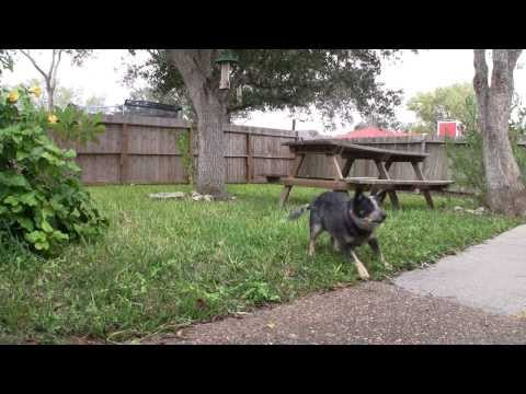 Who Said Blue Heelers Can't Fetch? ACD Australian Cattle Dog Fetches Ball