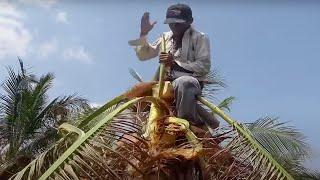Thử Thách TAY KHÔNG Lấy CỦ HỦ Cây Dừa.Use your hands Get the tops of the coconut tree.Thanh Hoai KG