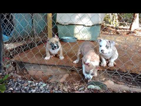 Dax/Marcello American bully pups