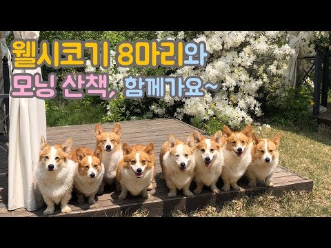 Would you like to take a morning walk with us? / Eight Welsh Corgi's Daily routine(1)
