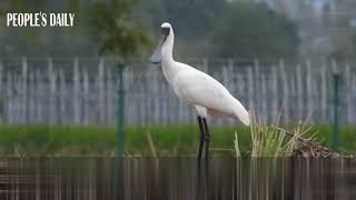 The black-faced spoonbill was spotted for the first time in Bihu Town, E China's Zhejiang recently