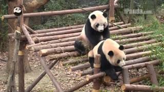 Qi Fu gives Ni Ni a SPA massage