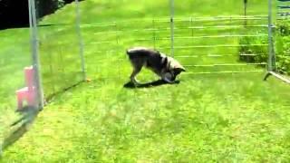 Американская индейская собака с мячом