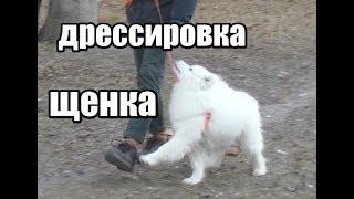 """Дрессировка щенка. Обучение командам """"Ко мне"""", """"Рядом"""", выдержка в """"Сидеть"""" и в """"Лежать"""""""