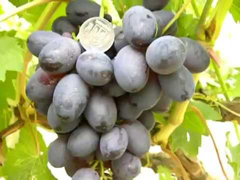 Виноград. Характеристики некоторых сортов винограда.Виноград Белецких.