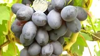 Виноград. Характеристики некоторых сортов винограда.Виноград Белецких.(Сорта винограда из нашей коллекции и это ещё не все.Если кому-то интересны наши видеоролики,можно набирать..., 2016-01-18T06:41:58.000Z)