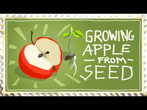 Growing An Apple Tree From Seed - Be Careful