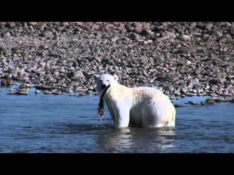 Polar Bears Fishing Arctic Char In Nunavik Quebec