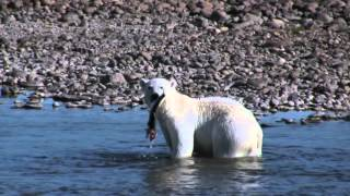 Polar Bears Fishing Arctic Char in Nunavik Quebec