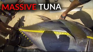 MASSIVE Yellowfin Tuna on ACCURATE REELS