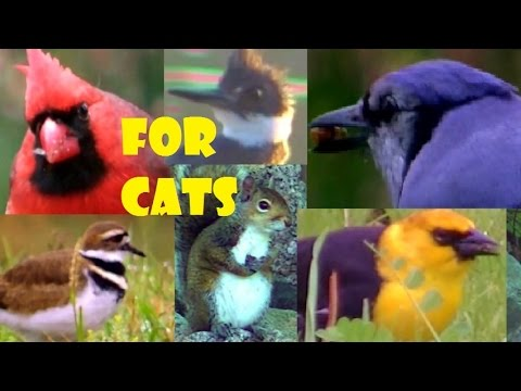 Beautiful Birds Chirping & Singing, 2 HOUR Entertainment Videos For Cats  Watch