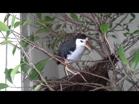 Chim quốc tự làm tổ tại nhà, chim quốc sinh sản tại nhà