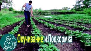 🍅 Окучивание картофеля    Технология выращивания Гордеевых