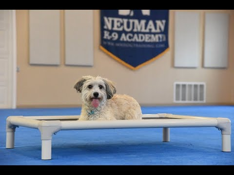 Brigg (Havanese) Boot Camp Dog Training Video Demonstration