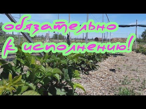 Прореживание побегов на малине и ремонтантной ежевике - важнейшая зеленая операция весной! | саженцы | ежевики | ежевика | малины | малина | купить