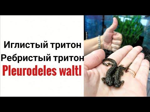 Иглистый тритон. Ребристый тритон.Pleurodeles waltl.