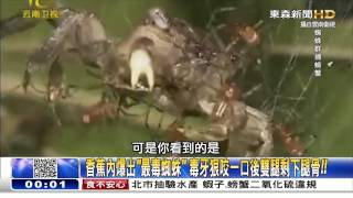 香蕉內爆出「最毒蜘蛛」 朱學恆 20150615-05 關鍵時刻