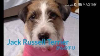 Jack Russell Terrierジャックラッセルテリアの(がんのすけ)足くぐり、...