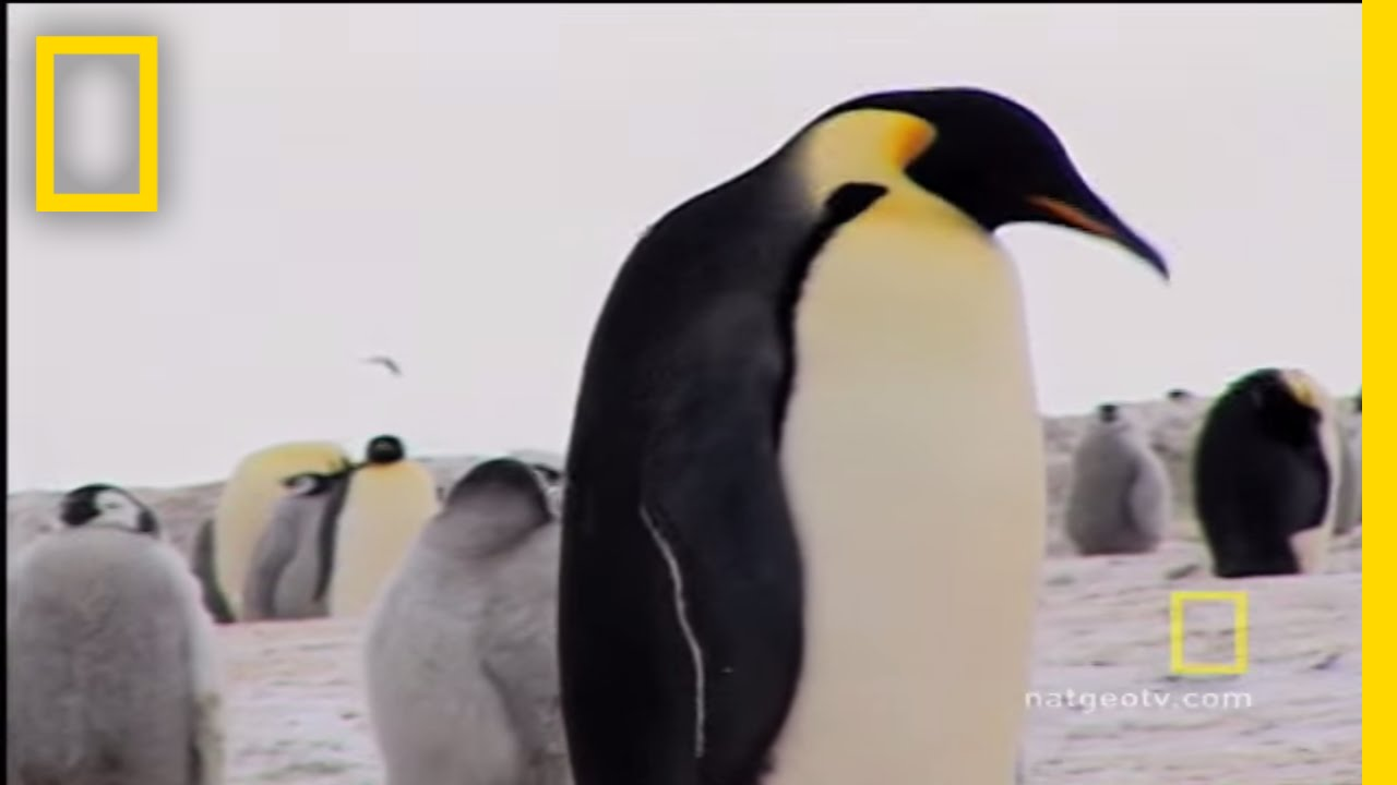 penguins dressed for success national geographic youtube