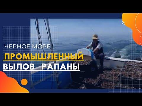 Промышленник собирает рапана. Вылов рапана в Черном море. Водолаз собирает рапану.