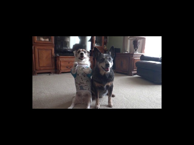 Adorable Double Dog Tricks with Jesse and Bella