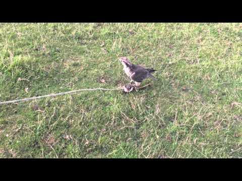 Lure swinging a falcon