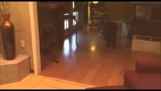 4 22 Precious The Standard Poodle Vs Beaux Theminiature Schnauzer Playing Tug A War  Who Won