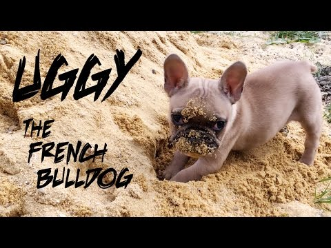 ► Uggy the French Bulldog plays in the sand
