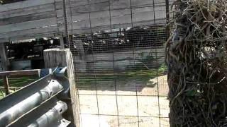 bufali bufale attenti al cane