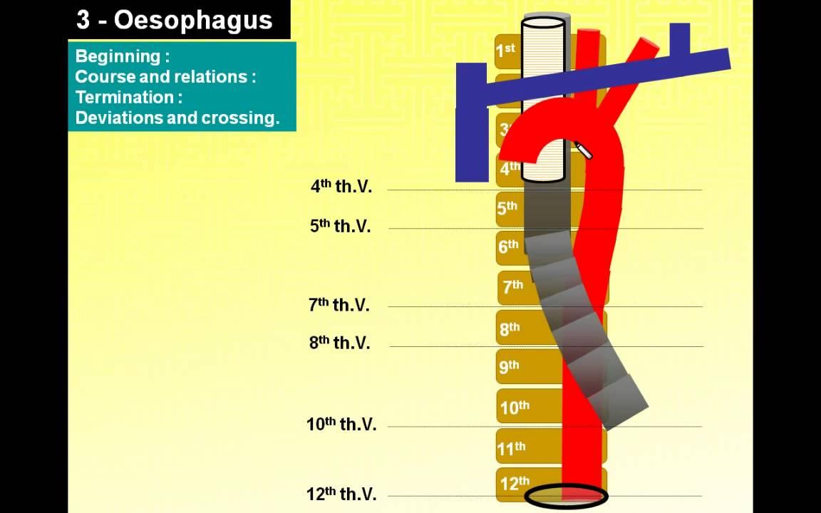 magdy said anatomy series thorax 14 post mediastinumaorta azygos vein thoracic duct oesophagus v1 [ 1152 x 720 Pixel ]