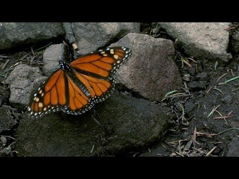 Why fewer monarch butterflies are surviving their winter migration to Mexico