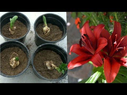 Best way to Grow Lilium Bulbs ::