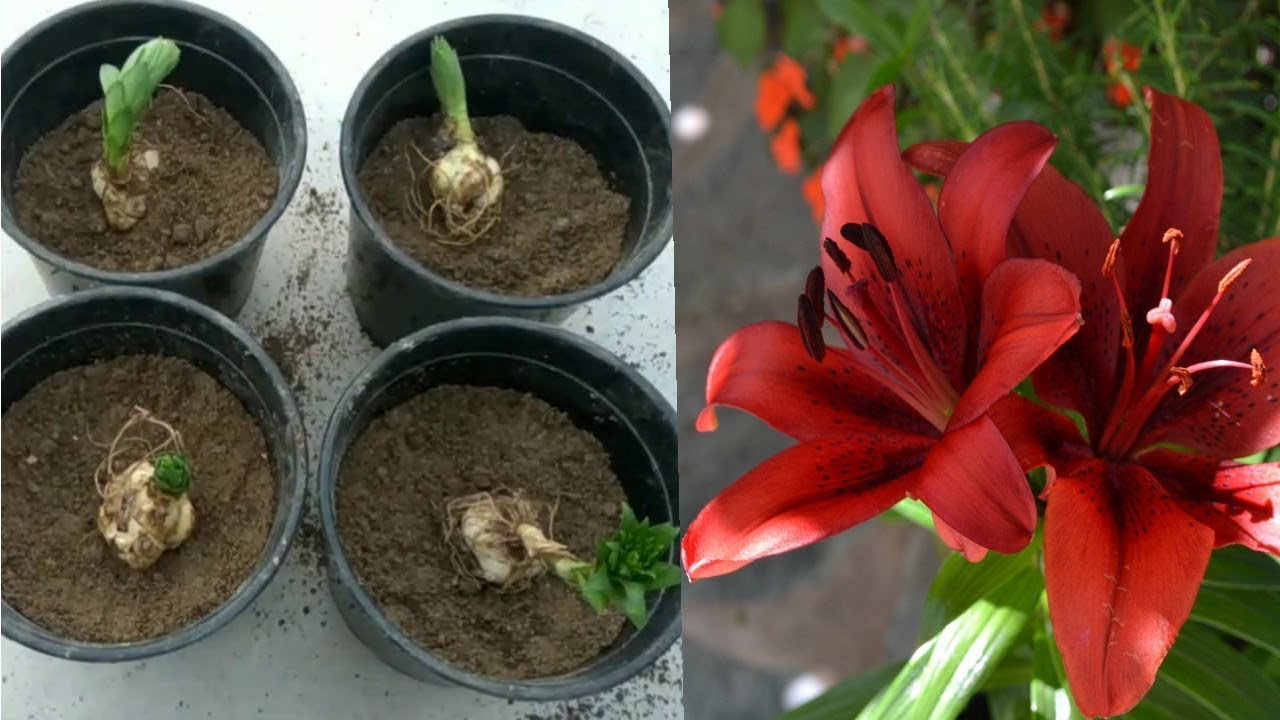 Best Way To Grow Lilium Bulbs Youtube