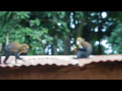 Jumping and Climbing Monkeys in Ivory Coast, West Africa