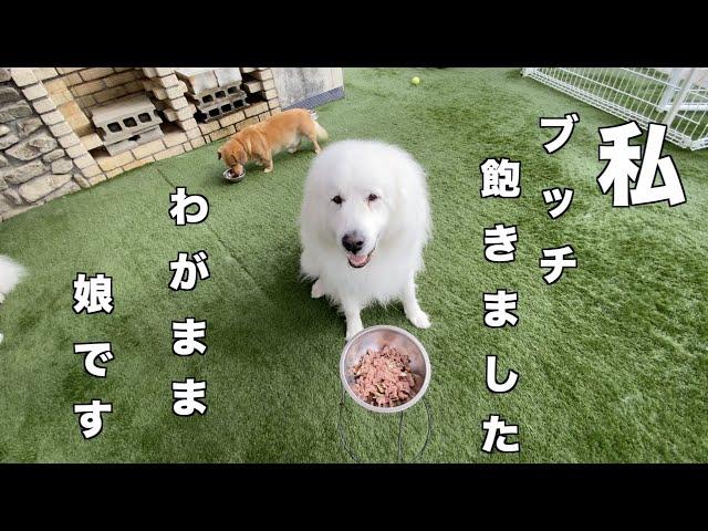 朝食の様子 グレートピレニーズ MIX犬